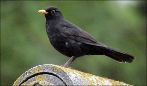 blackbird_682_528672a
