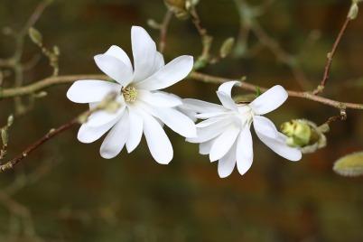 magnolia-1317235_960_720
